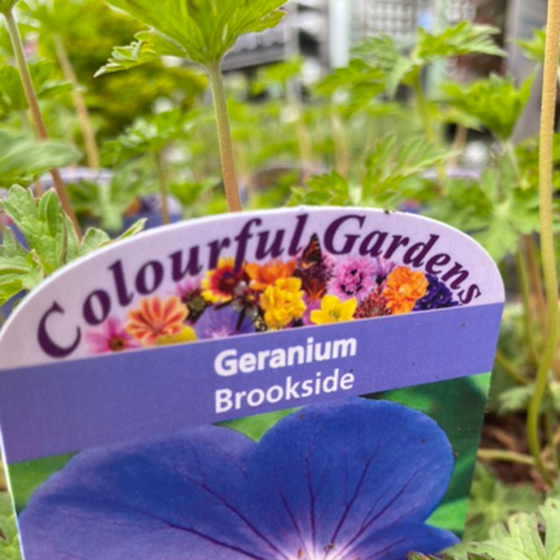 Picture of Geranium 'Brookside'