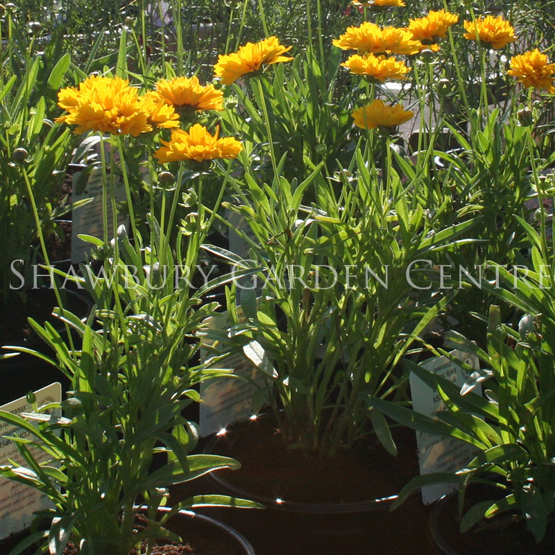 Picture of Coreopsis grandiflora 'Sun Kiss'