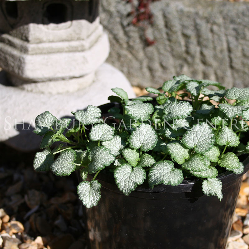 Picture of Lamium maculatum 'Beacon Silver'