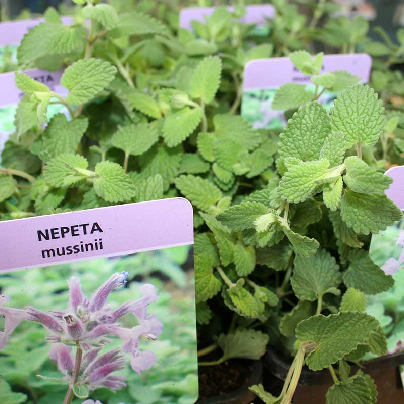 Picture of Nepeta mussinii