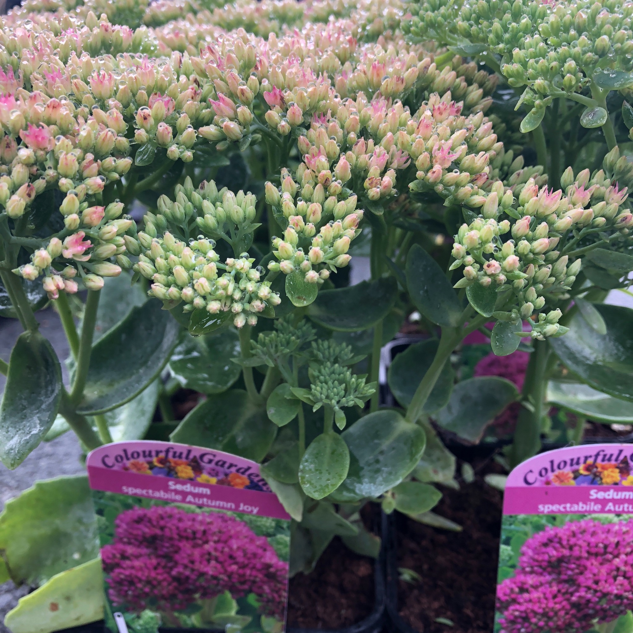 Picture of Sedum spectabile 'Autumn Joy'