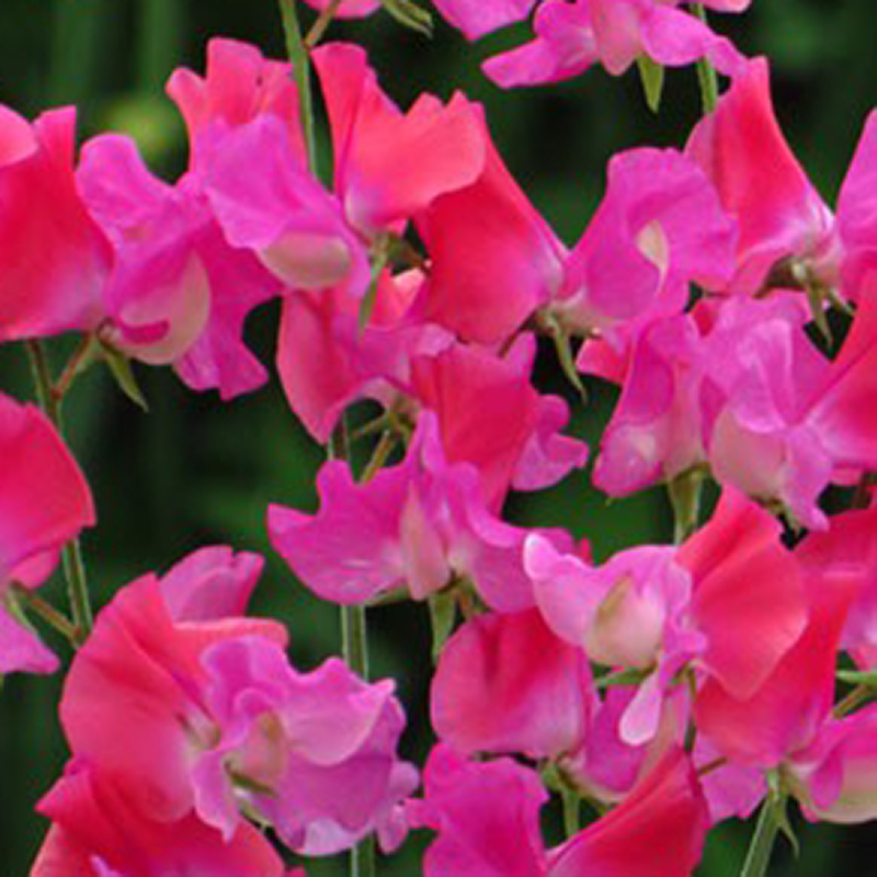 Picture of Unwins 'Chance' Sweet Pea Seeds