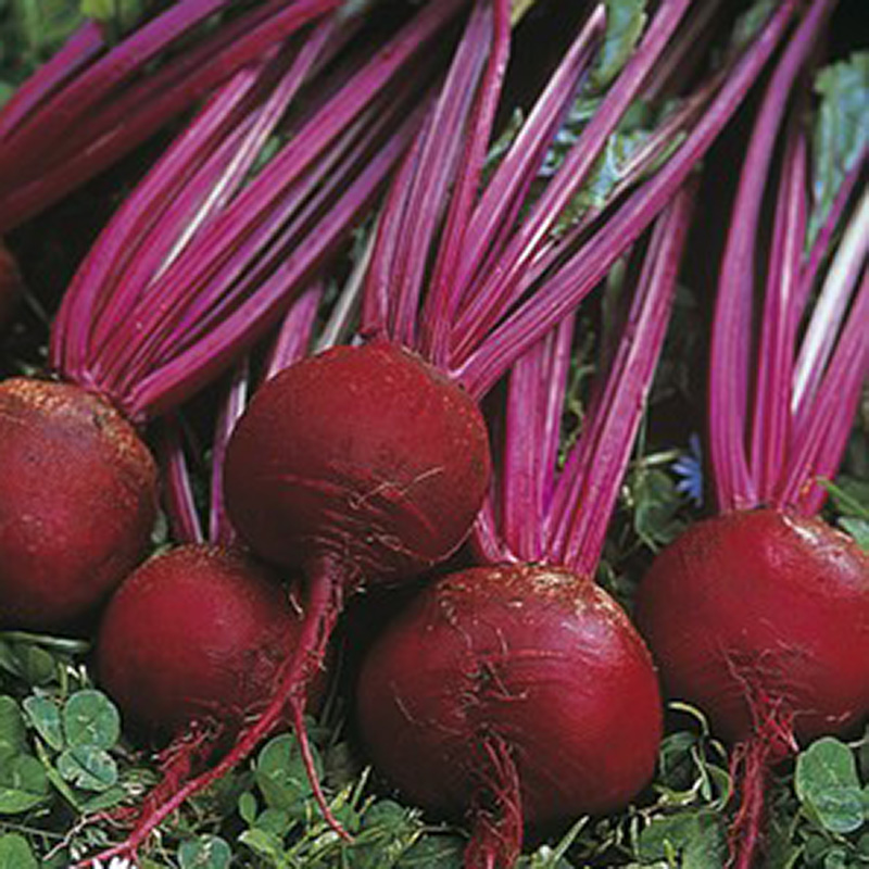 Picture of Unwins Gro-Sure 'Solo' Beetroot Seeds