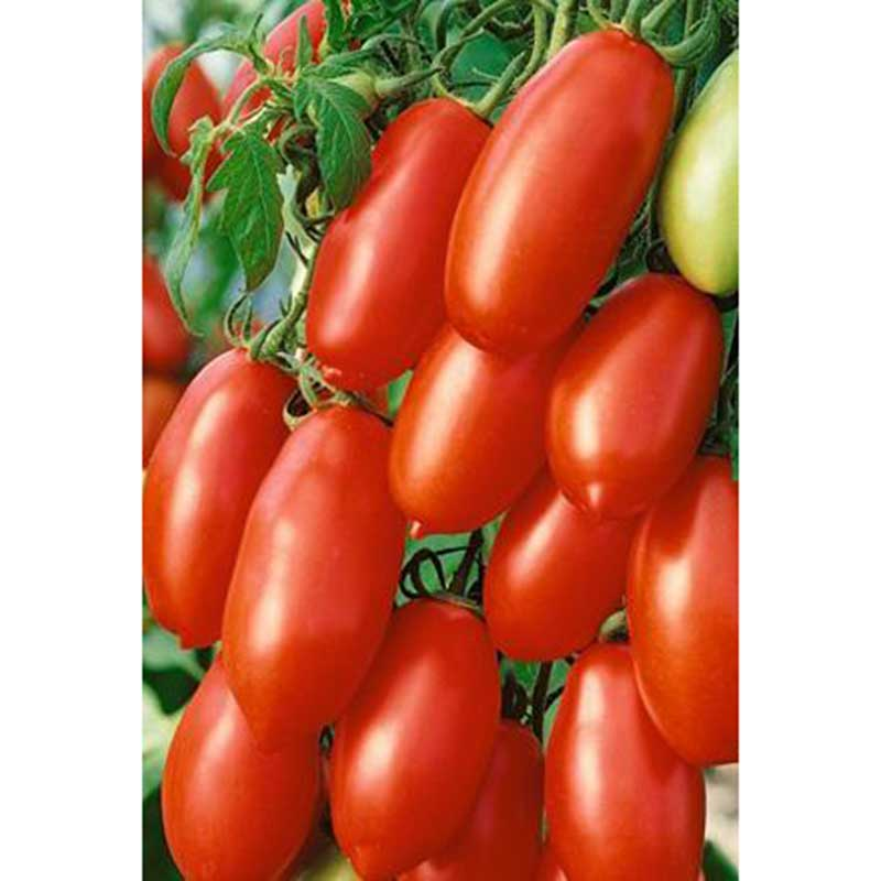 Picture of Unwins Tomato Seeds - San Marzano