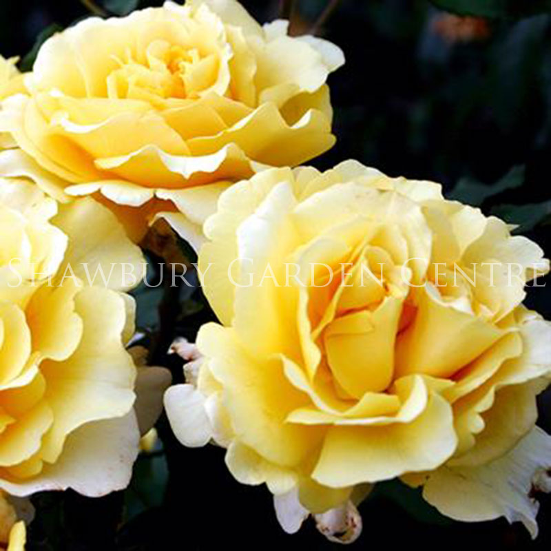 Picture of Sunny Sky Rose ROTY 2016