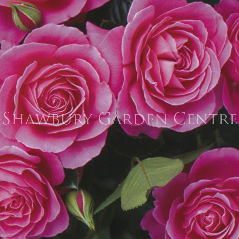 Picture of Rosa 'Gemma'