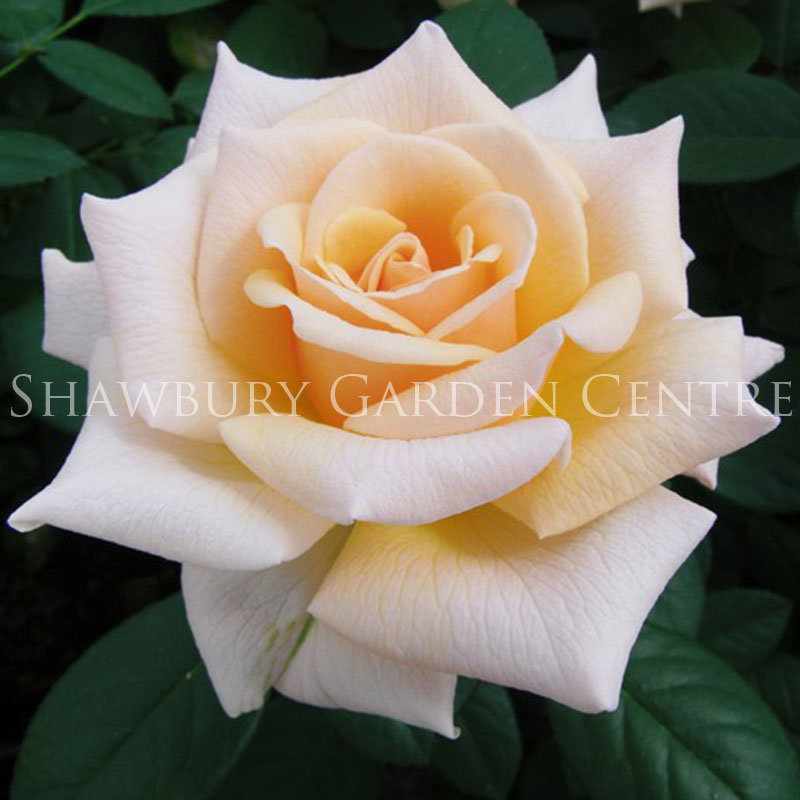 Picture of Caron Keating Rose
