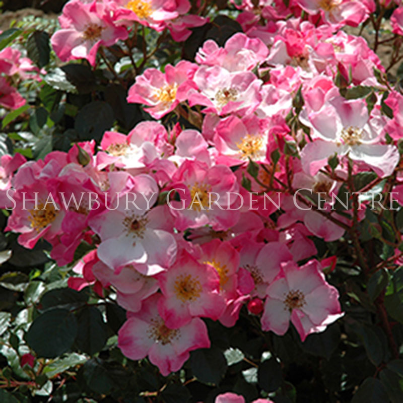 Picture of Rosy Cushion Rose