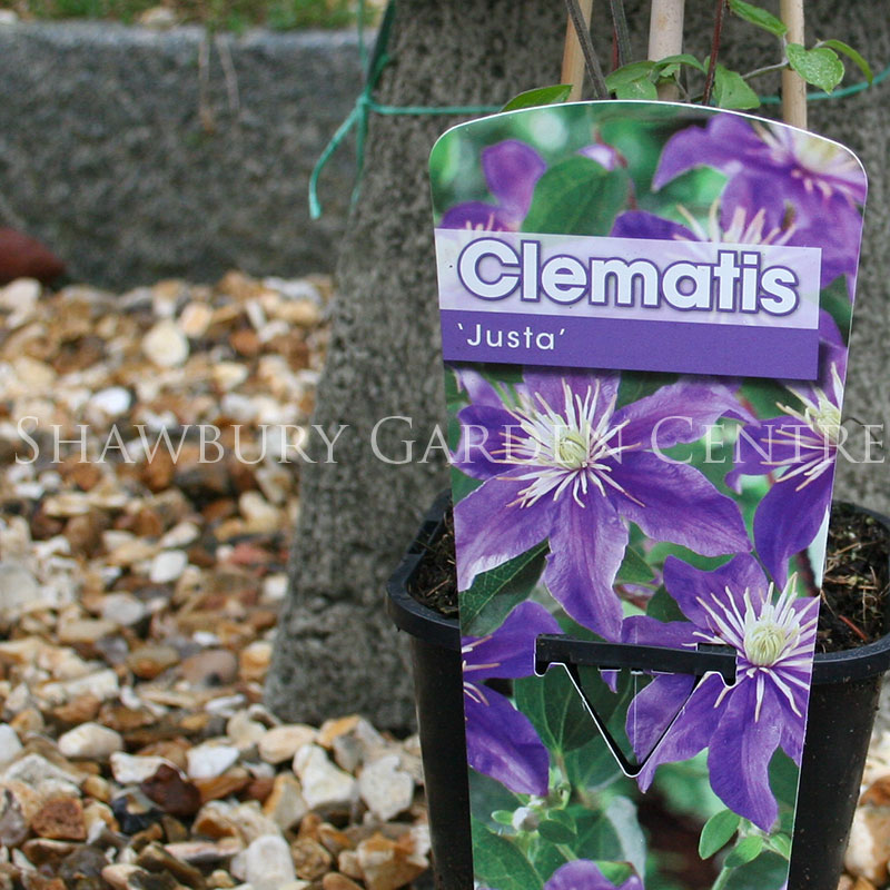 Picture of Clematis 'Justa'