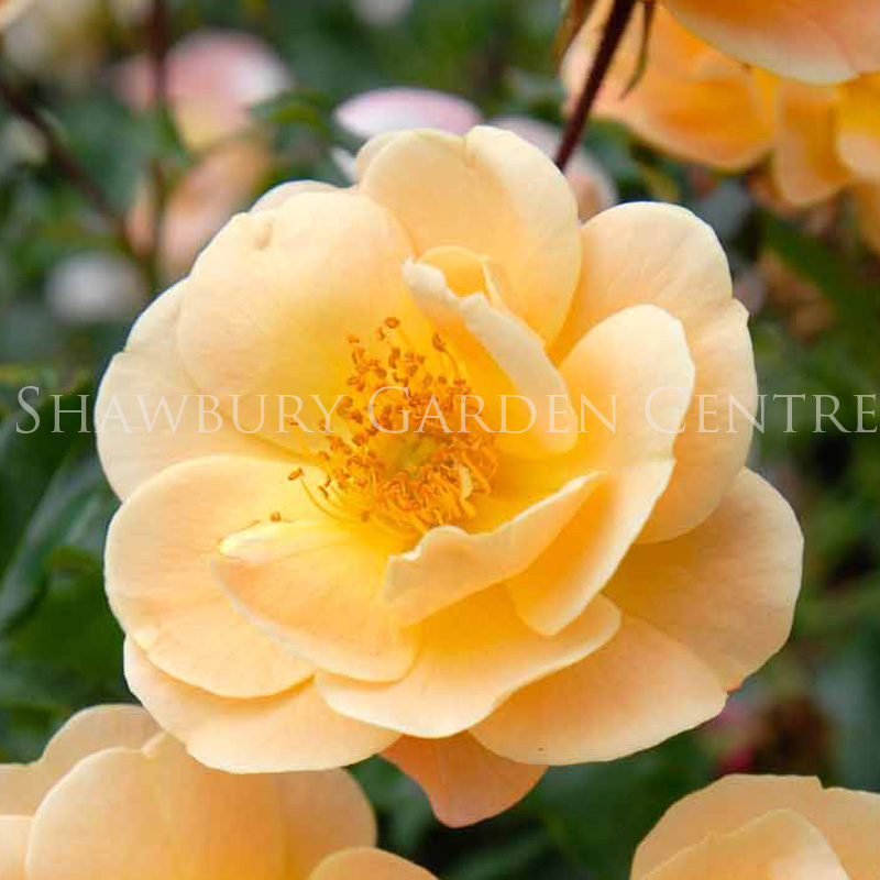 Picture of Rosa Flower Carpet 'Amber'