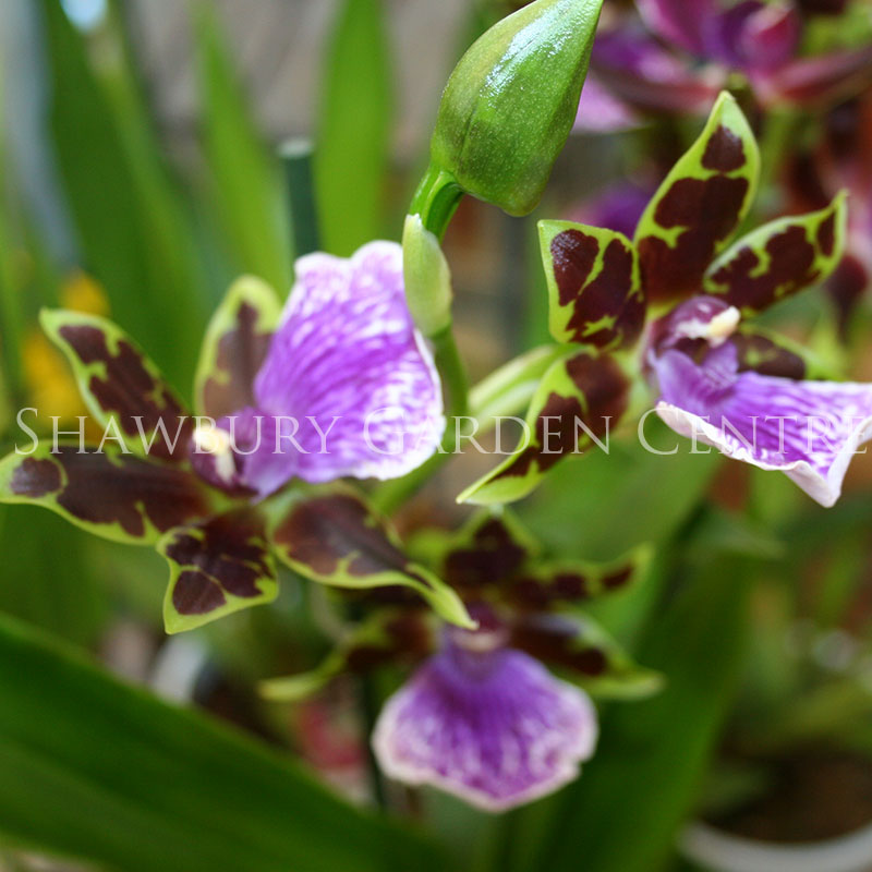 Picture of Cambria Mix Orchid