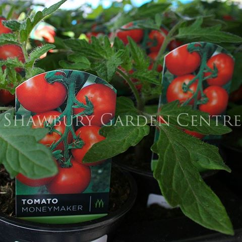 Picture of Moneymaker Tomato Plant