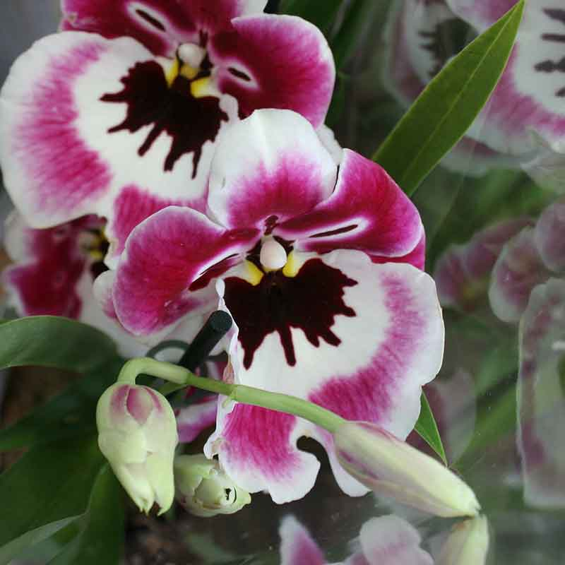 Picture of Miltonia 'Pansy Orchid'