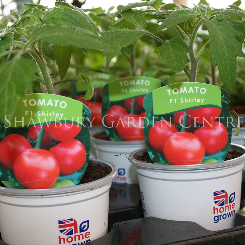 Picture of F1 Shirley Tomato Plant