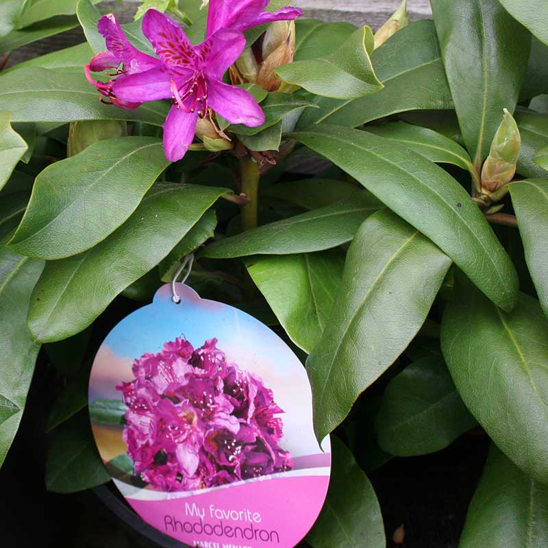 Picture of Rhododendron 'Marcel Menard'