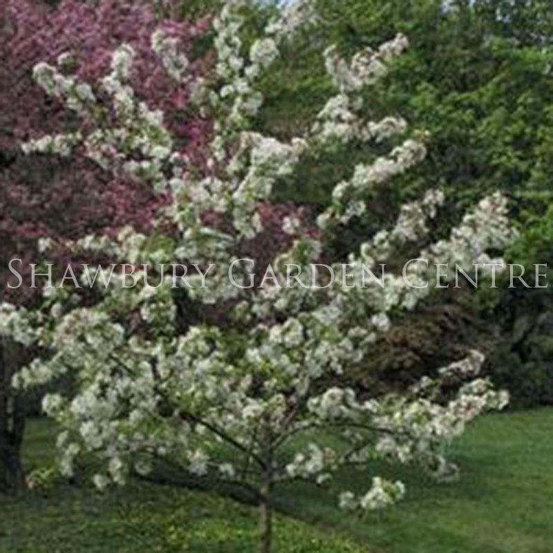 Picture of Malus 'Evereste' Crab Apple Tree