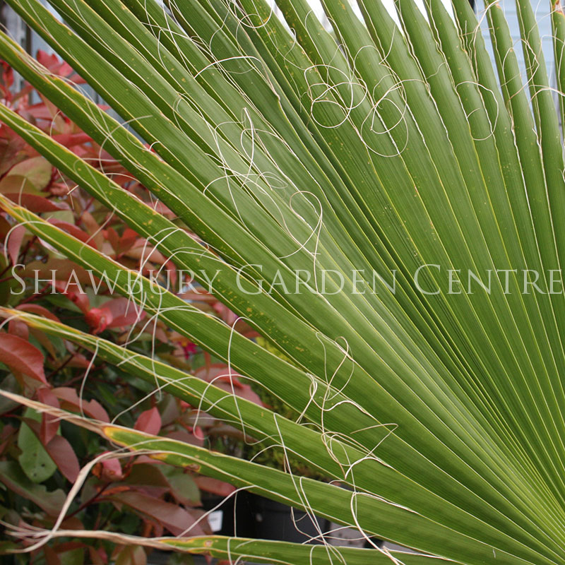 Picture of Chamaerops humilis 'Dwarf Fan Palm'