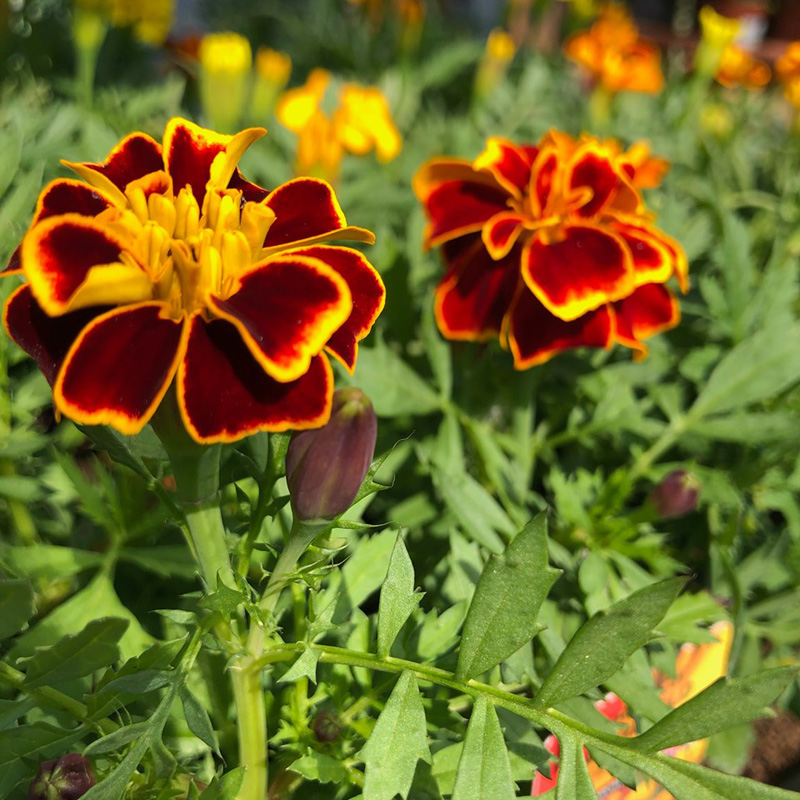 Picture of French Marigolds