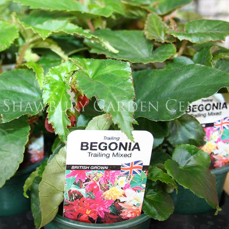 Picture of Trailing Begonia
