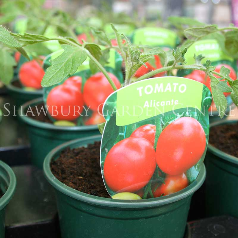 Picture of Alicante Tomato Plant