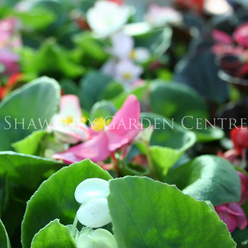 Picture of Begonia Sempervirens Green Leaf