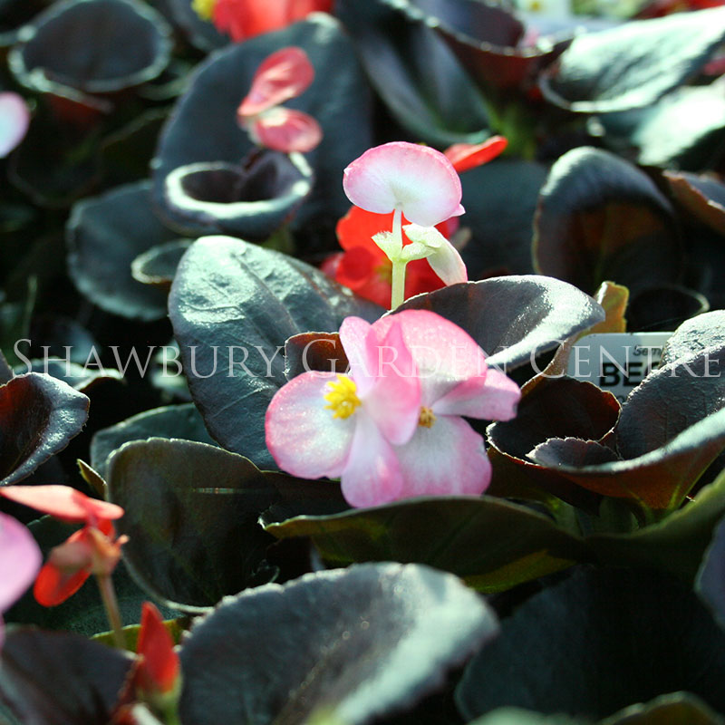 Picture of Begonia Bronze Leaf