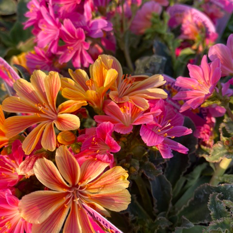 Picture of Lewisia cotyledon 'Rainbow'