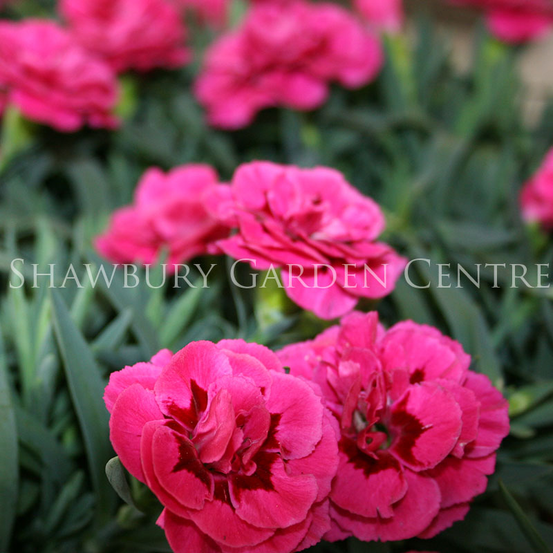 Picture of Dianthus caryophyllus 'Pinks'