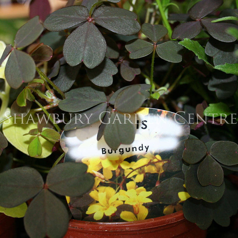 Picture of Oxalis 'Burgundy'