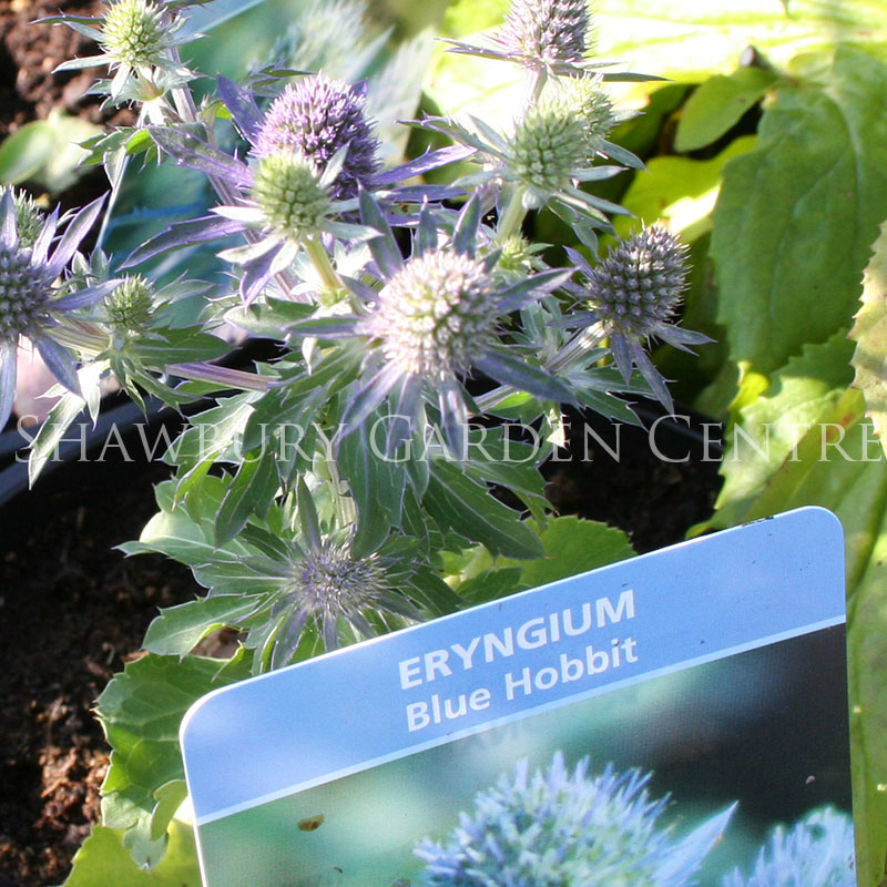 Picture of Eryngium 'Blue Hobbit'