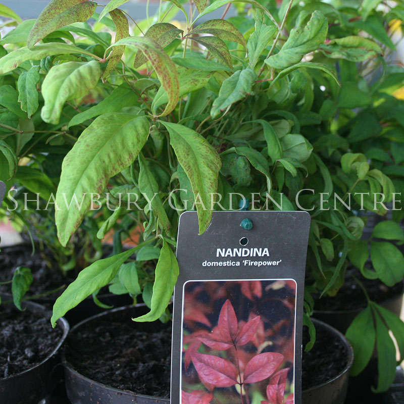 Picture of Nandina domestica 'Fire Power' Sacred Bamboo