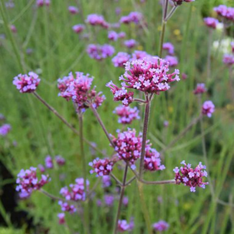 Picture of Verbena bonariensis