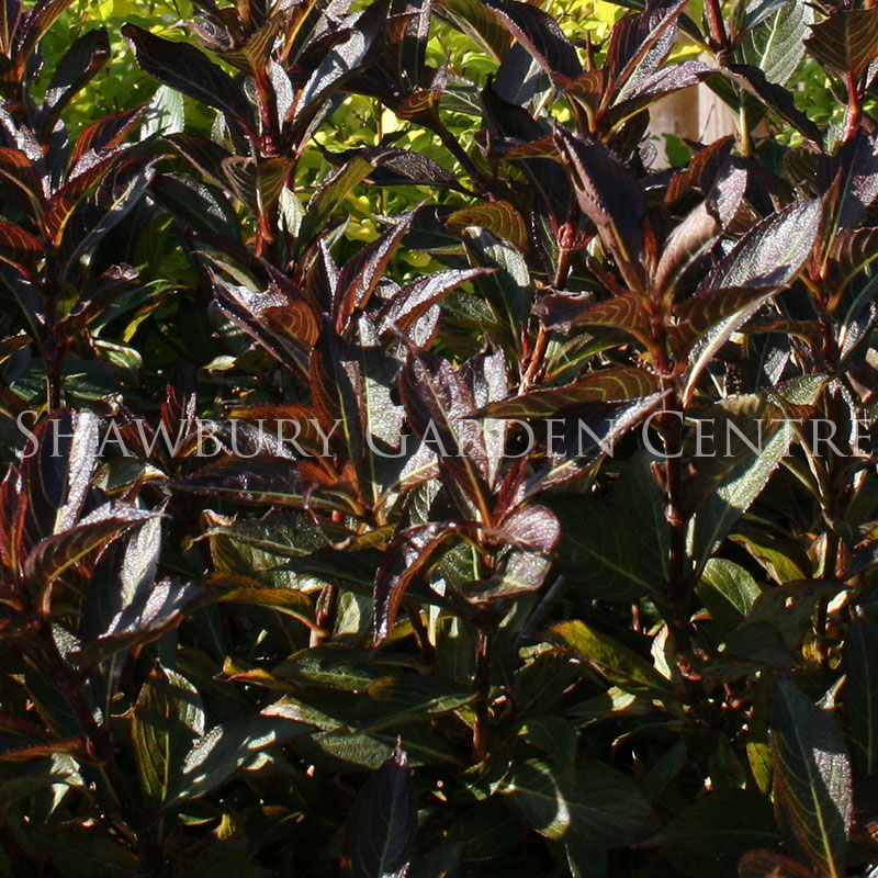 Picture of Weigela 'Black & White'