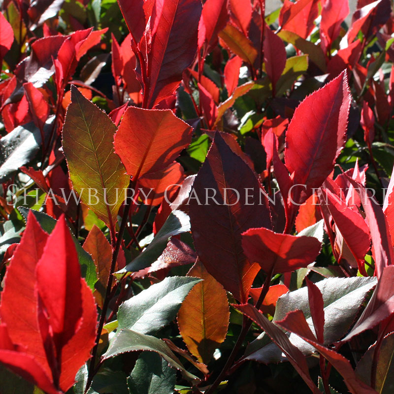 Picture of Photinia 'Little Red Robin'