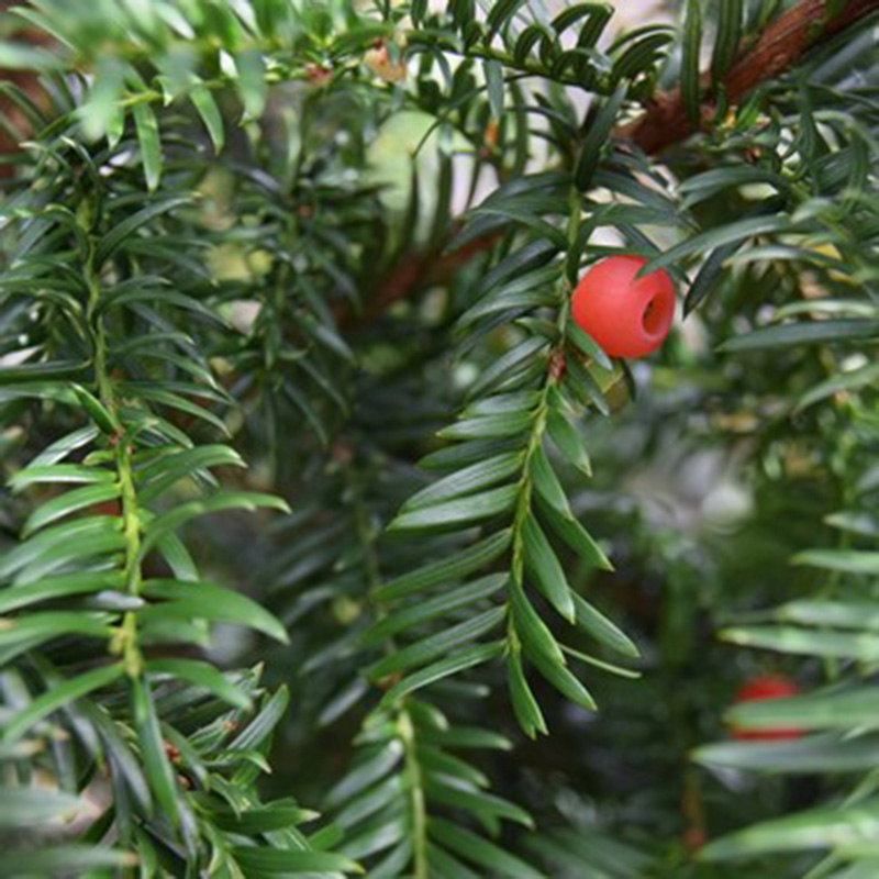 Picture of Taxus baccata 'English Yew'