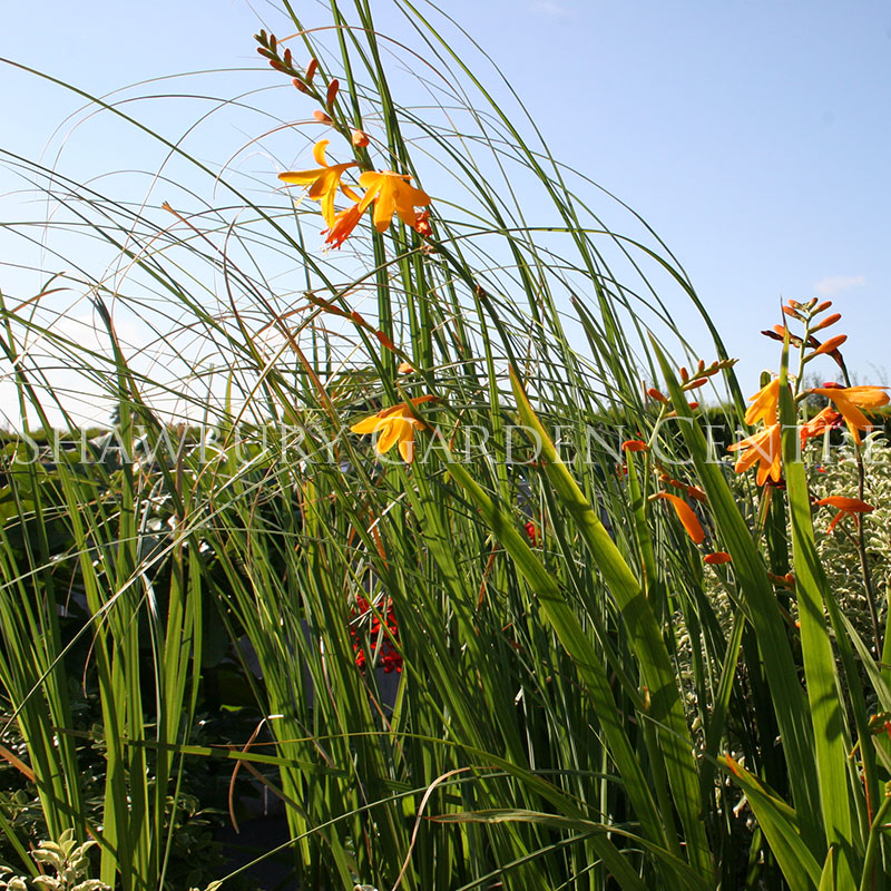 Picture of Crocosmia 'George Davidson'