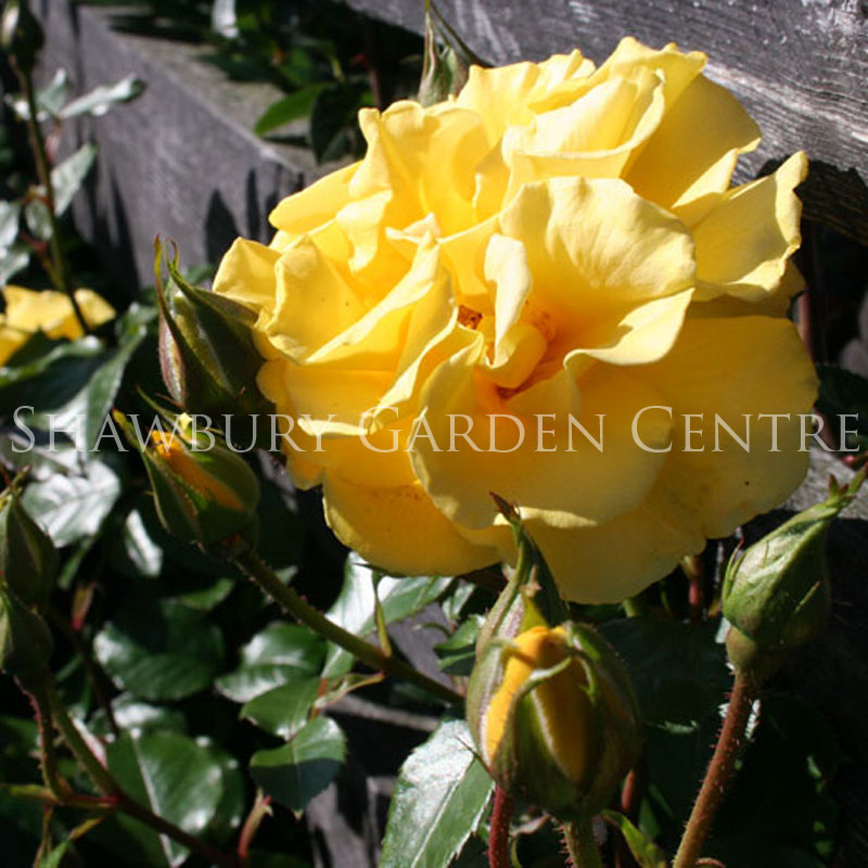 Picture of Precious Gold Rose
