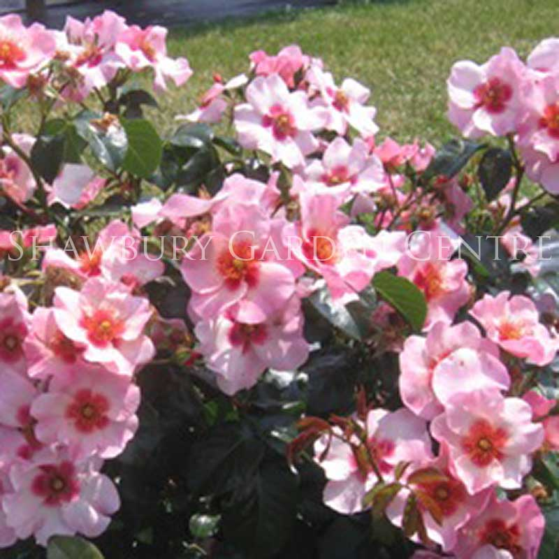 Picture of Rosa Bright As A Button Bush Rose
