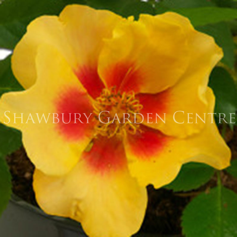 Picture of Rosa Eye of The Tiger - Garden Bush Rose