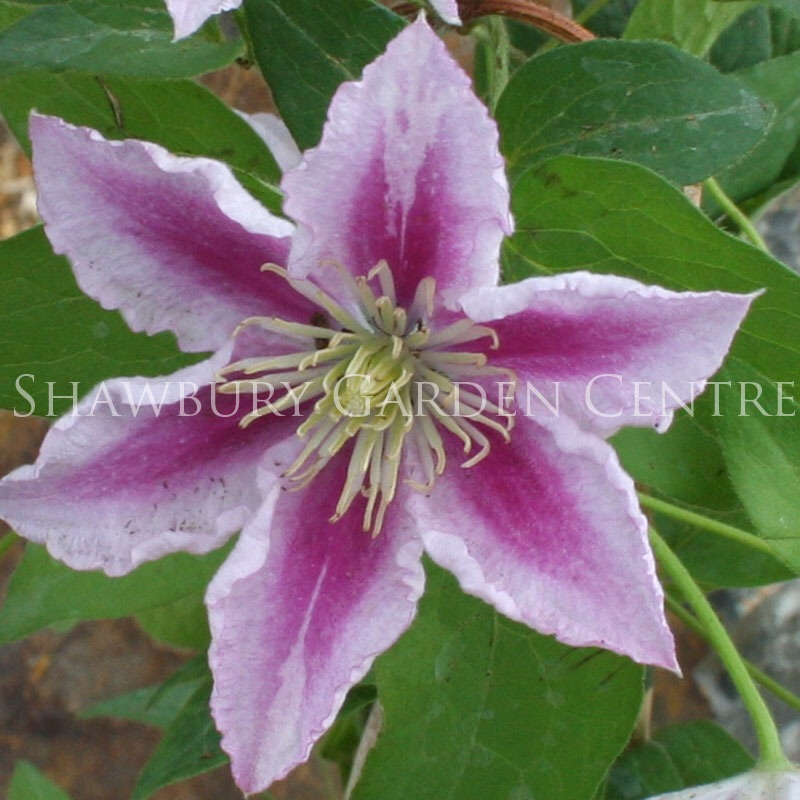 Picture of Clematis 'Piilu'