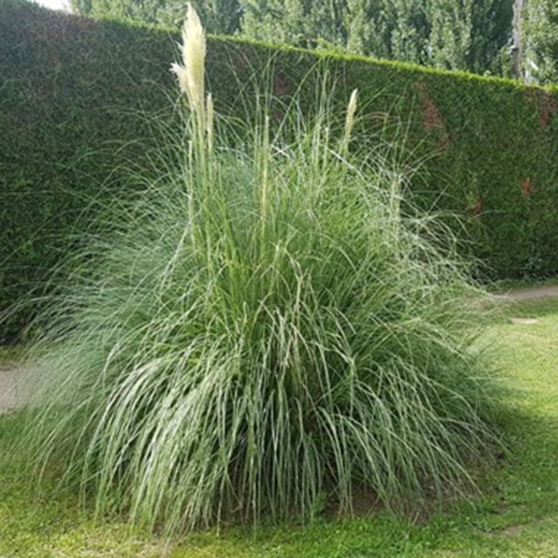 Picture of Cortaderia selloana 'Pampas Grass'