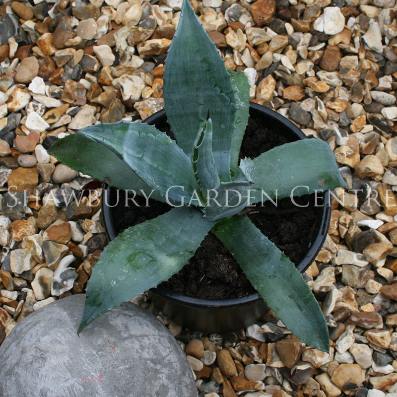 Picture of Agave americana 'American Aloe'