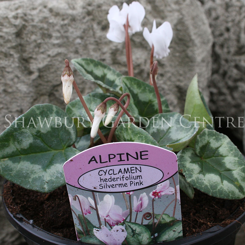 Picture of Cyclamen hederifolium 'Silverme Pink'