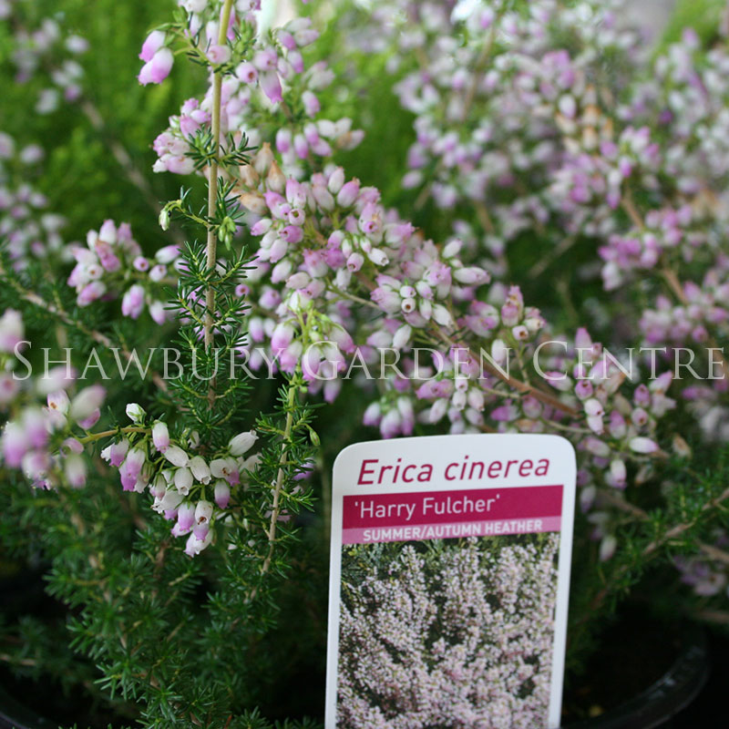 Picture of Erica cinerea 'Harry Fulcher' Summer/Autumn Heather