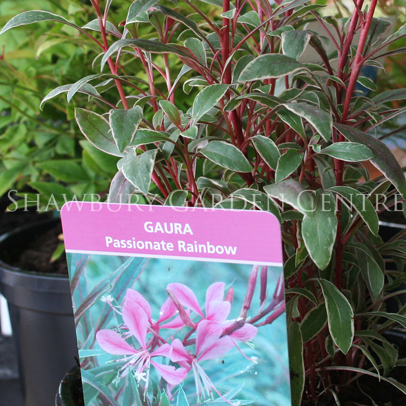 Picture of Gaura 'Passionate Rainbow'
