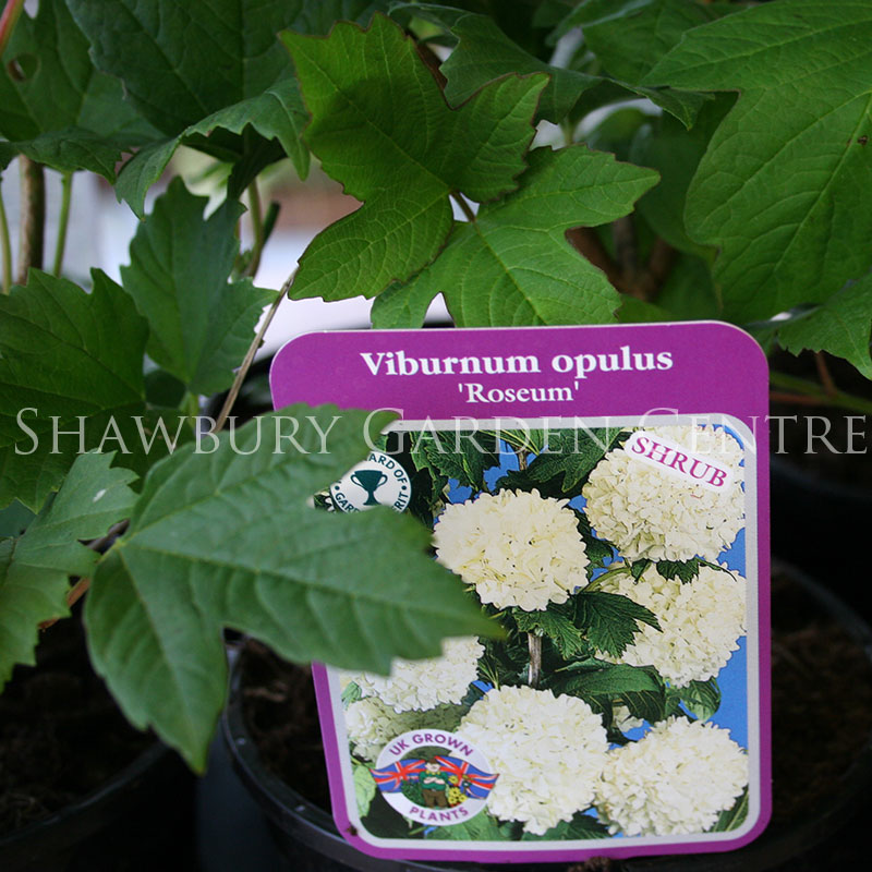 Picture of Viburnum opulus 'Roseum' Snowball Tree