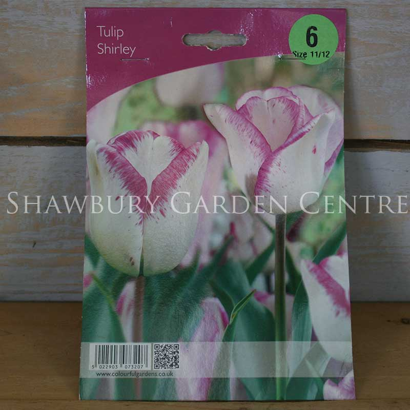 Picture of Shirley Tulip Bulbs