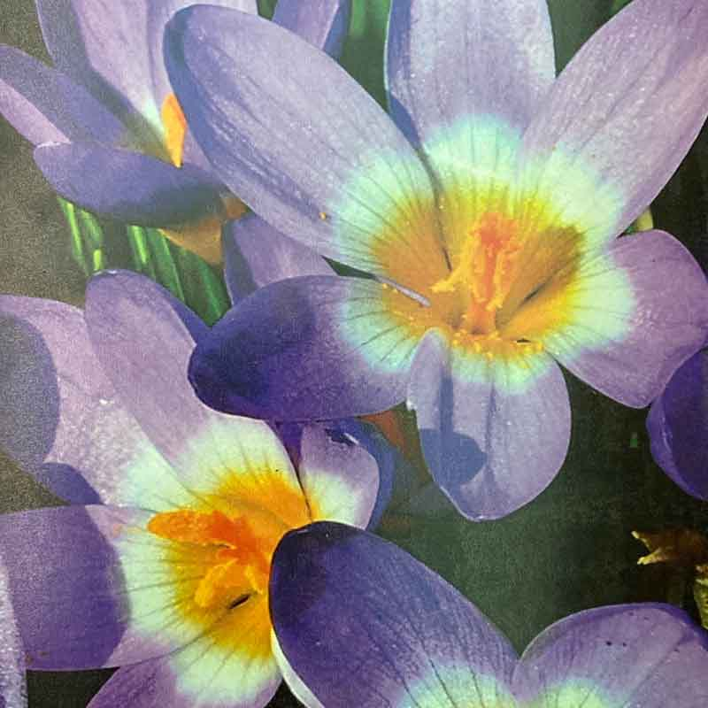 Picture of Tricolor Crocus Bulbs