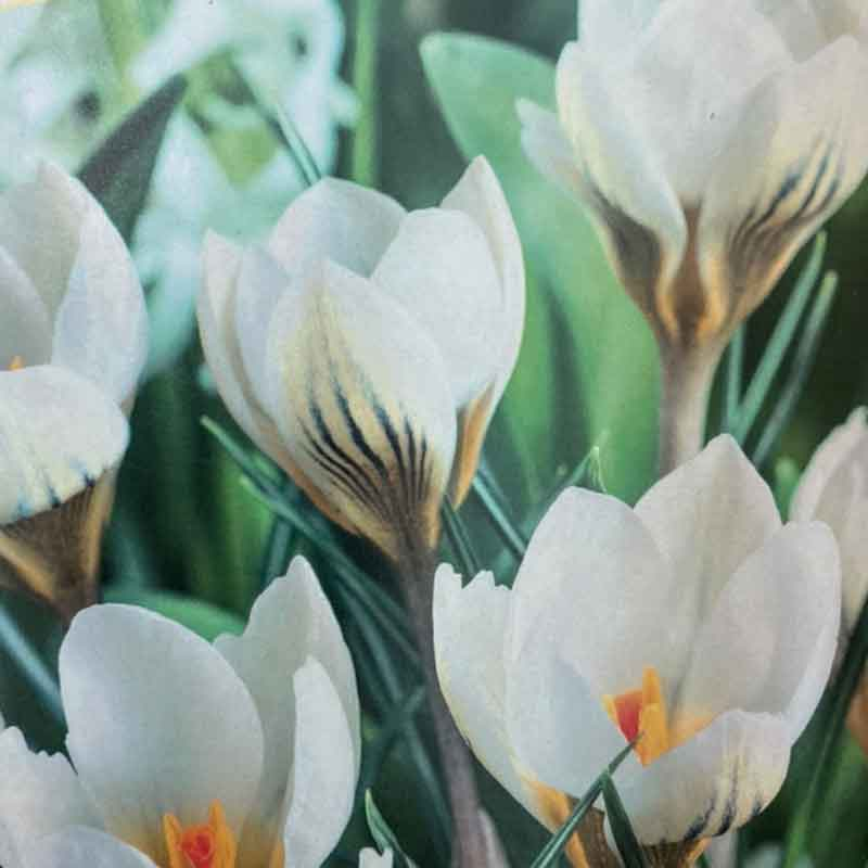 Picture of Large Flowered WHITE CROCUS Bulbs