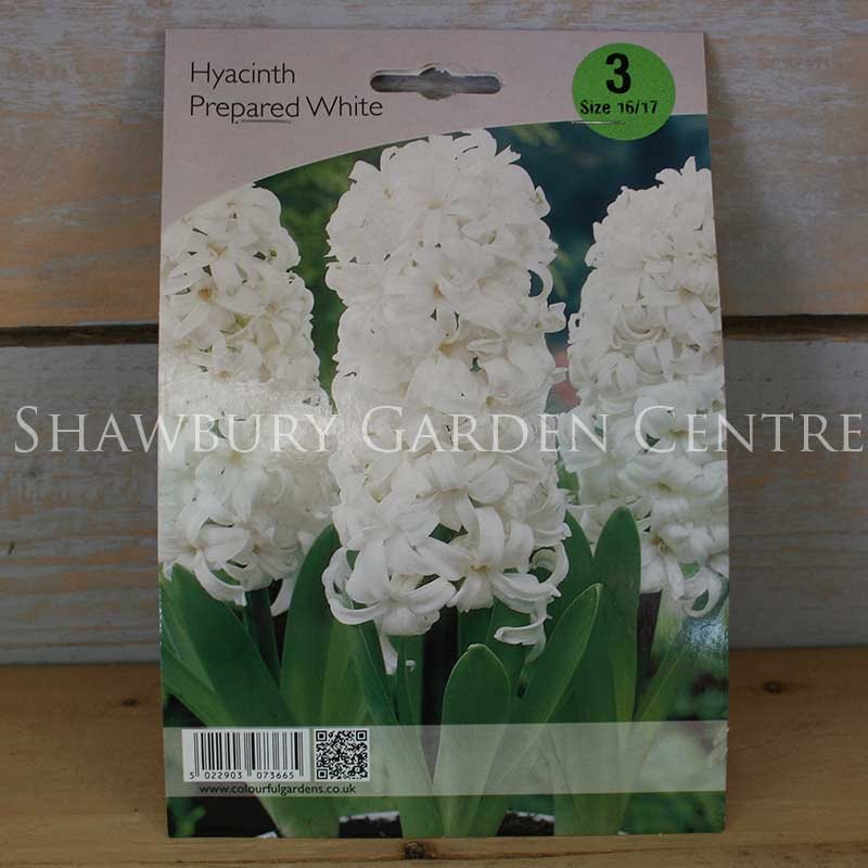Picture of Prepared Hyacinth Bulbs